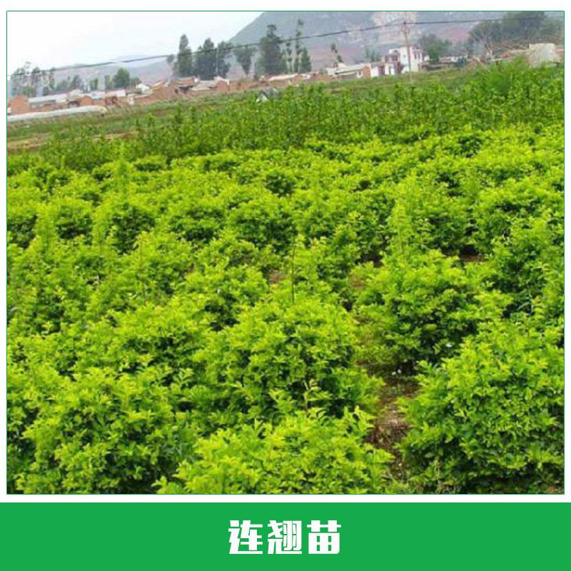 连翘苗销售 连翘小苗直销 灌丛多生 绿化苗木 种植苗 欢迎来电洽谈
