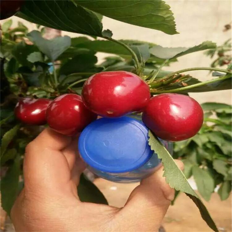 果树苗 樱桃苗 南方大樱桃树苗 车厘子苗 新品种 拉宾斯大樱桃苗
