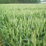 供应半冬性中筋周麦36小麦种子