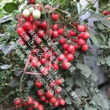 约18克果迷你型樱桃番茄种子引进 新一代高糖高品质小番茄将炫丽登场批发