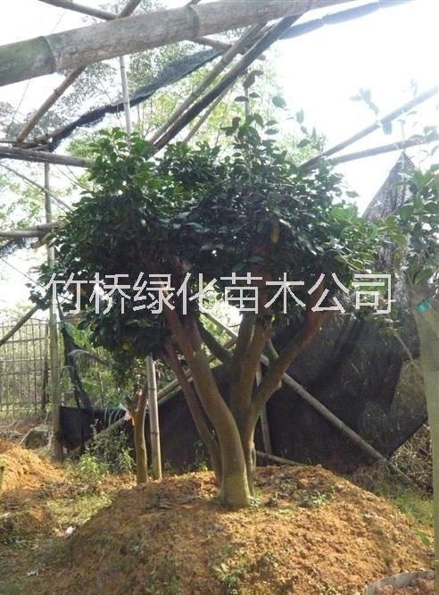 景观茶花树 10年的茶花树价格 广西茶花古树 茶花树图片