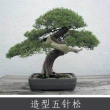 造型五針松 優質藥用植物批發 常綠針葉喬木盆景盆栽 基地實惠價批發