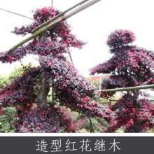 造型红花继木 中国特色花卉之一 园林行道观赏常绿灌木红花继木批发