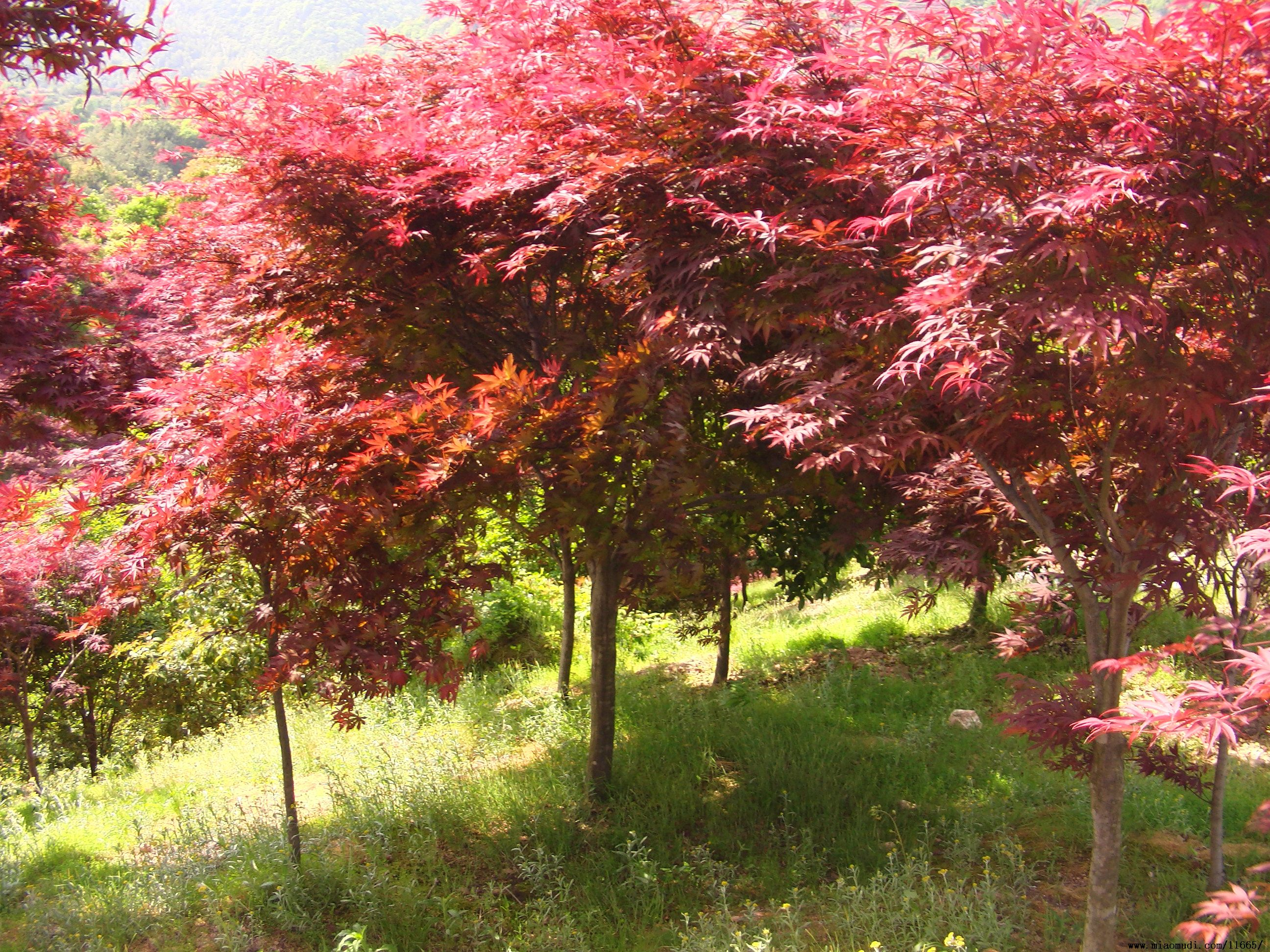 广西红枫树 大红枫价格 红枫树价格