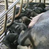 四川农家天然特产断奶小黑猪幼猪仔 断奶仔猪小猪苗   批发