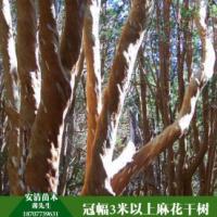 广西麻花干树价格  麻花干树 麻花干树供应商 麻花干树大量出售
