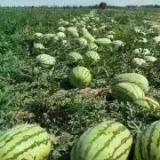 新疆西瓜什么价格 西瓜商城 新疆西瓜品种 西瓜影音绿色版  西瓜商城官网 新疆西瓜批发市场 新疆库尔勒西瓜 西瓜收购老板