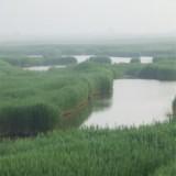 芦苇 芦苇报价 芦苇种植 白洋淀晨曦水生植物种植 芦苇苗