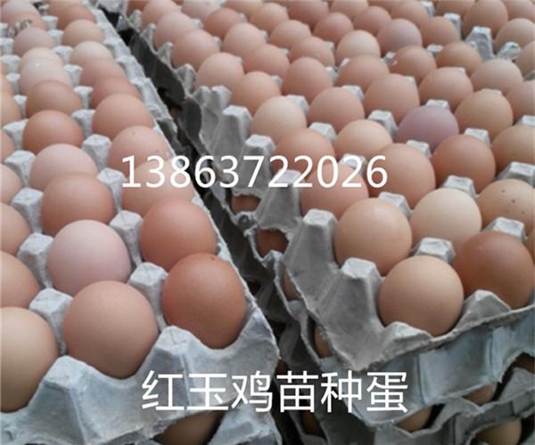 销红玉鸡、九斤红、380鸡苗种蛋