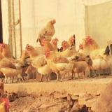 广州家禽养殖 广州家禽养殖厂 广州家禽养殖厂家 广州家禽养殖基地