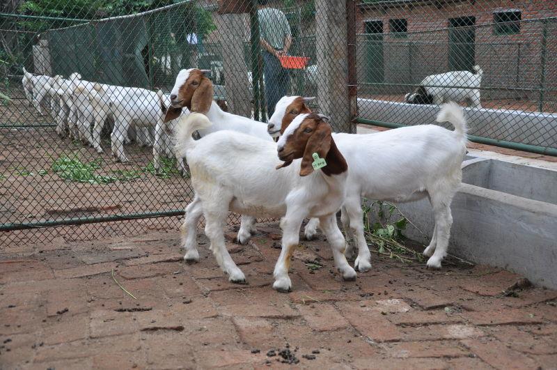 波尔山羊批发 波尔山羊价格 波尔山羊供应商 波尔山羊价格 波尔山羊养殖 波尔山羊直供 波尔山羊批发