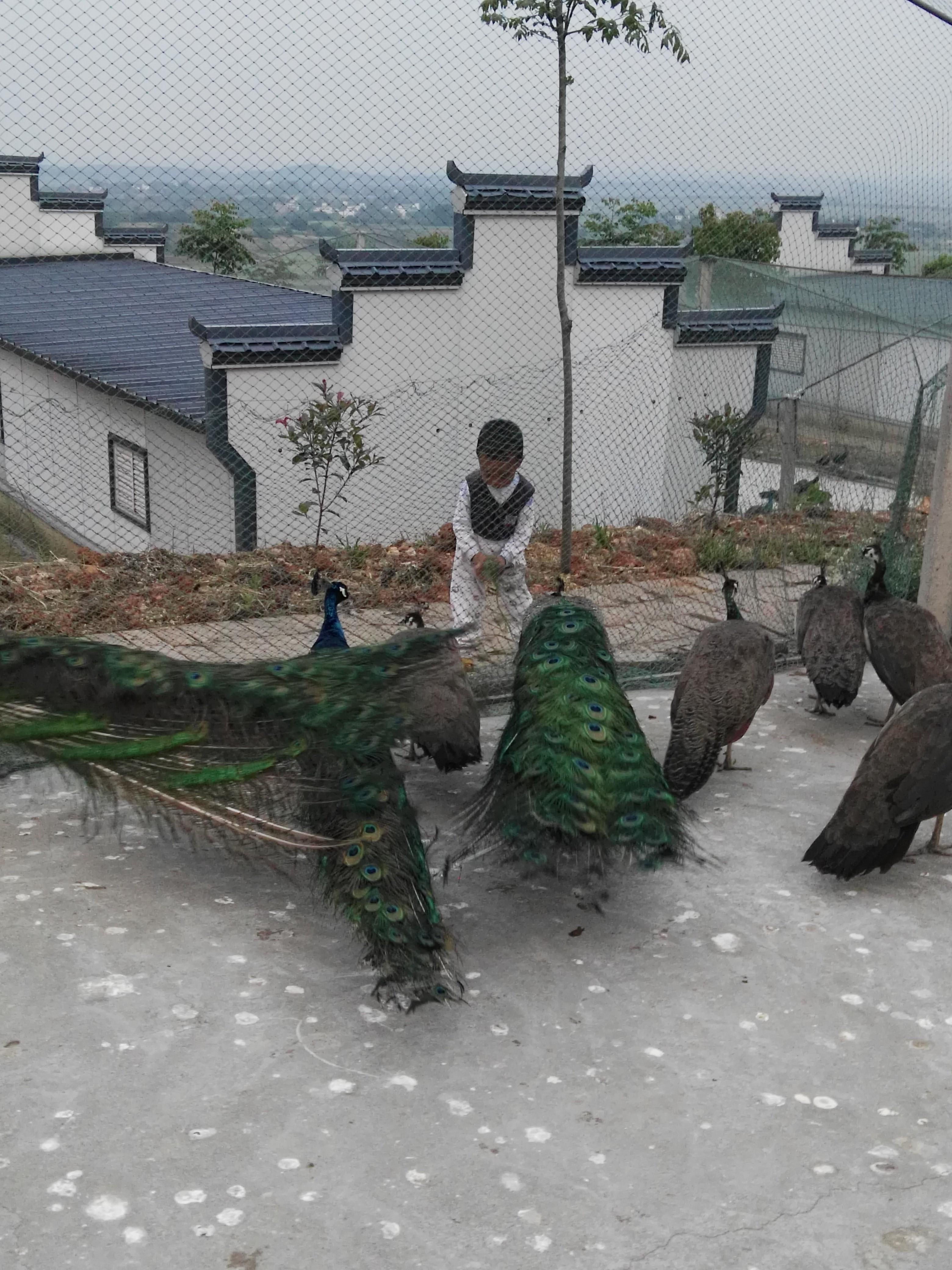 种孔雀,标本孔雀,食用孔雀供应,景区,生态园观赏孔雀供应