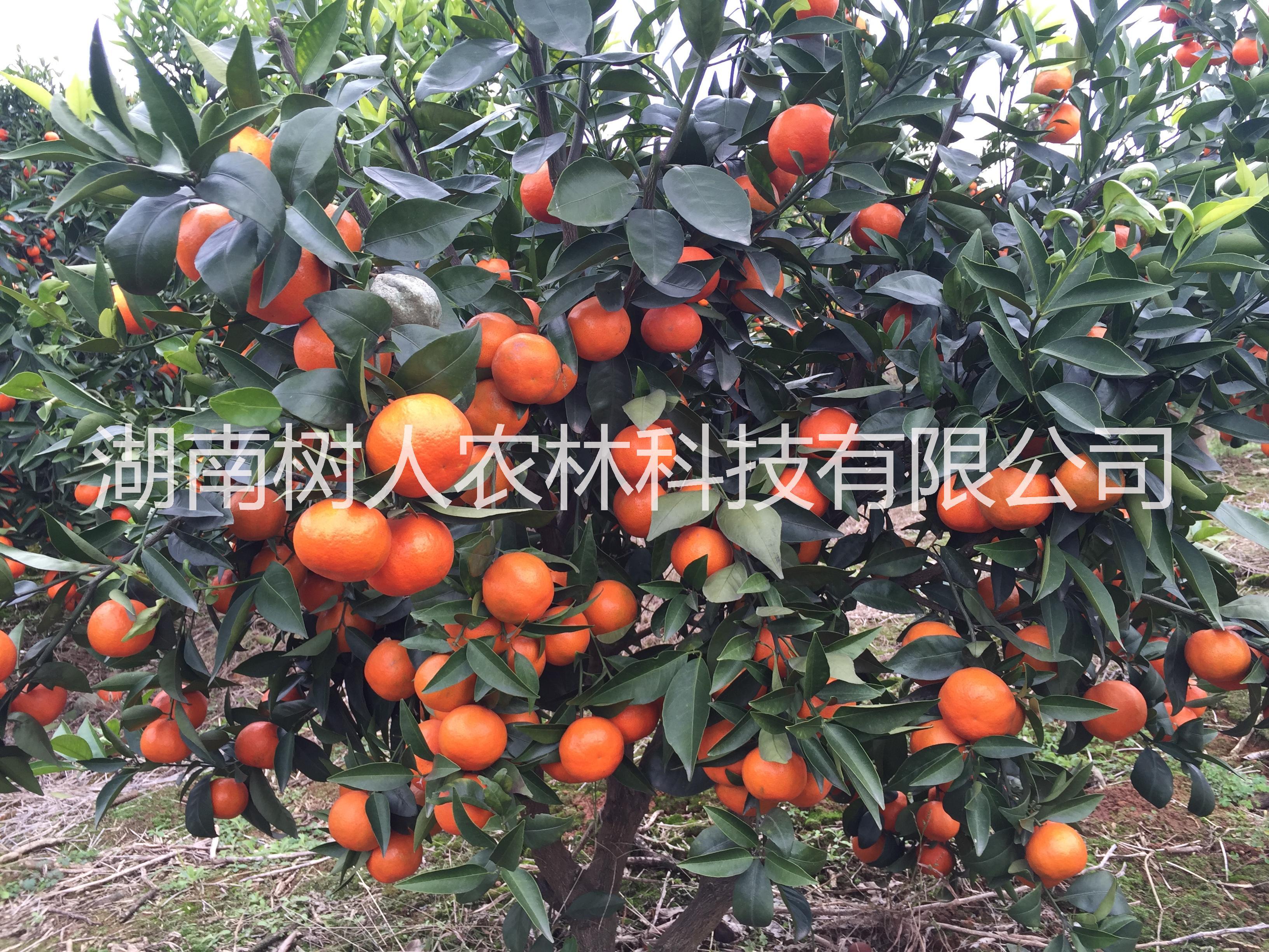 湖南正宗世纪红柑桔苗种植基地直销批发价格多少钱-管理技术指导找湖南树人公司