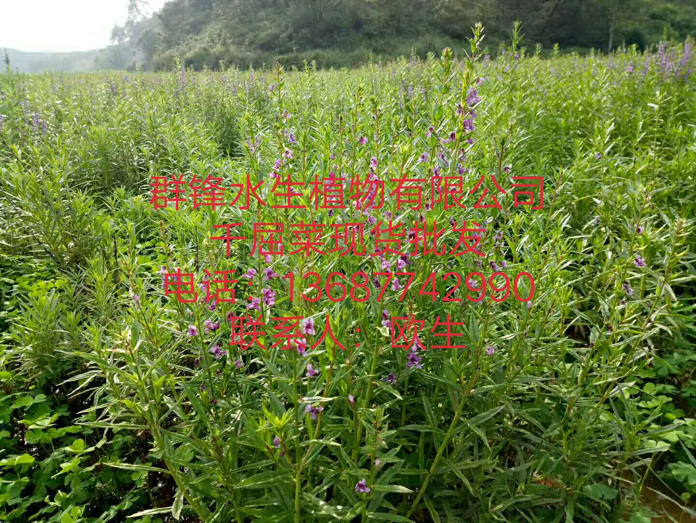 福建水生植物千屈菜基地直销| 福建水生植物| 福建哪里卖水生植物| 福建水生植物供应商| 福建水生植物基地直销