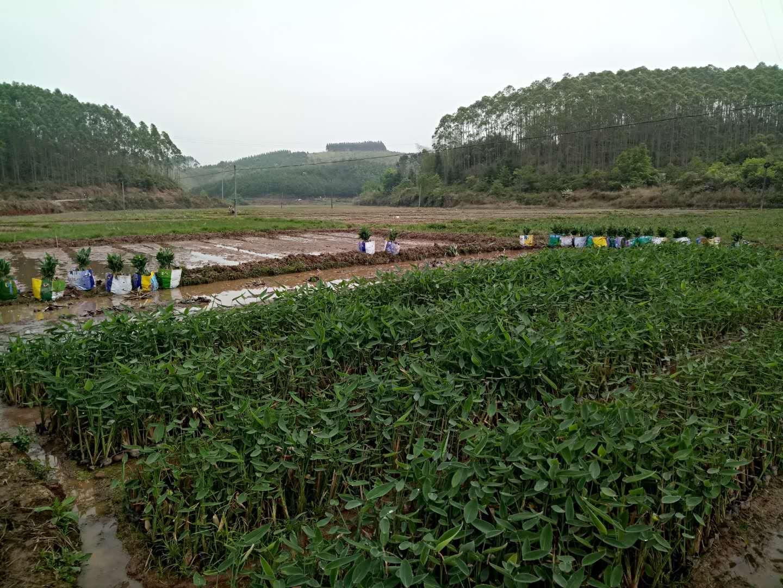 河池再力花基地直销|河池水生植物基地|河池哪里卖水生植物|河池水生植物供应商|河池水生植物销售|河池水生植物基地直销
