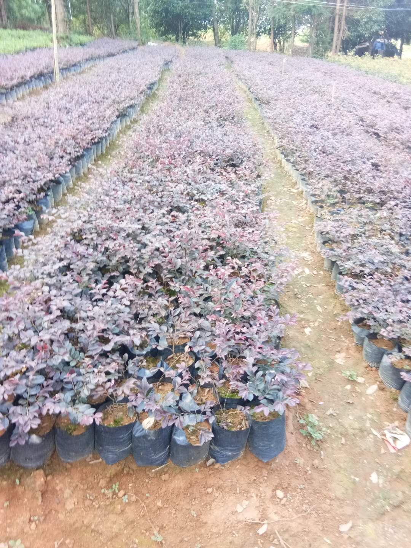 红花檵木|广西优质红花檵木供货商|广西优质红花檵木种植基地|广西优质红花檵木批发价格