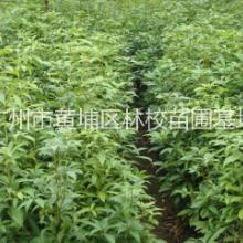 海南黄花梨(香枝木) 广东香枝木大量供应 香枝木种子 海南黄花梨厂家批发图片