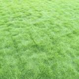 郴州马尼拉草皮供应商,马尼拉草皮厂家直销,郴州草皮基地,经销商采购报价,草坪生产基地,厂家价格 郴州马尼拉草皮基地