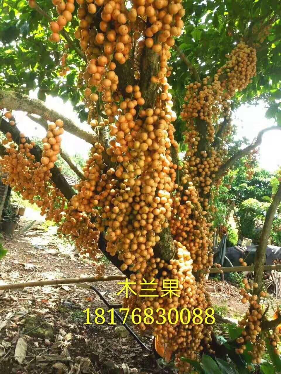 贵州木兰果种植基地 木兰果特点 木兰果价格 经销商报价
