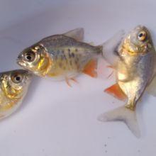 鲳鱼苗图片