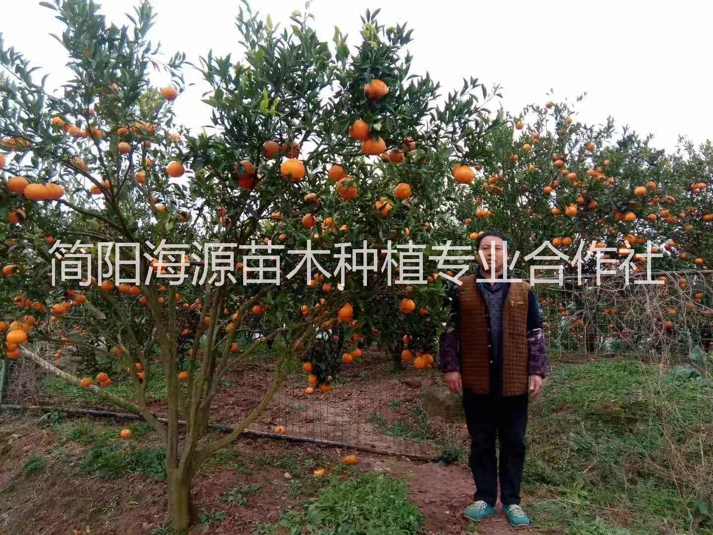 四川春见柑橘苗种植基地直销价格