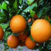 重庆青秋脐橙苗-重庆青秋脐橙苗基地/哪里有卖厂家批发价格
