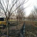 榉树供应商,嘉兴榉树供应商,温州榉树供应商,绍兴榉树供应商