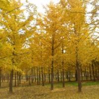 江西优质的实生银杏树