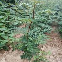 专业种植花椒苗,太原专业种植花椒苗,运城专业种植花椒苗