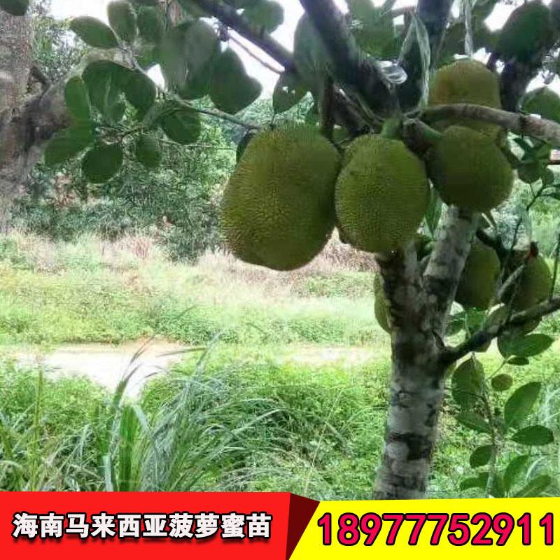 菠萝蜜果树苗厂家 纯种四季菠萝蜜果树苗 菠萝蜜苗马来西亚