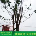 金桂花树图片