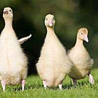 母鹅 母鹅报价 母鹅批发 母鹅供应商 母鹅生产厂家 母鹅哪家好
