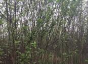 江西九江木槿 优质木槿供应