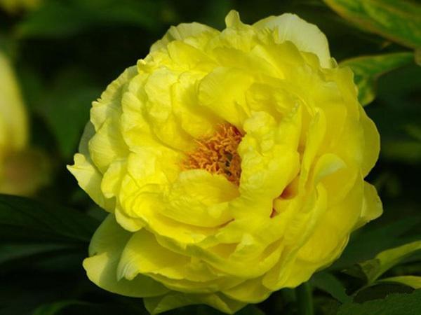 庭院观赏花卉牡丹花盆栽精品批发