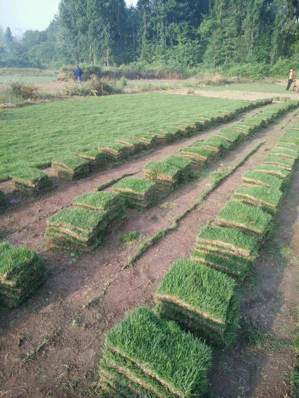 安徽马尼拉草坪种植基地直销价格