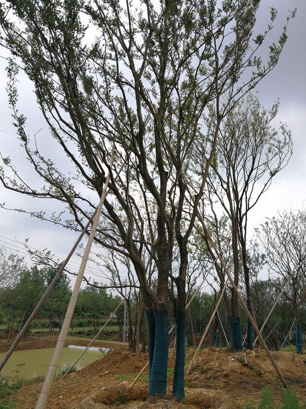 安徽胸径20-100cm丛生朴树种植基地直销价格