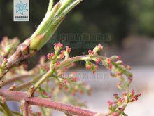 安徽滁州黄连木种植基地-草坪种植报价优质供应