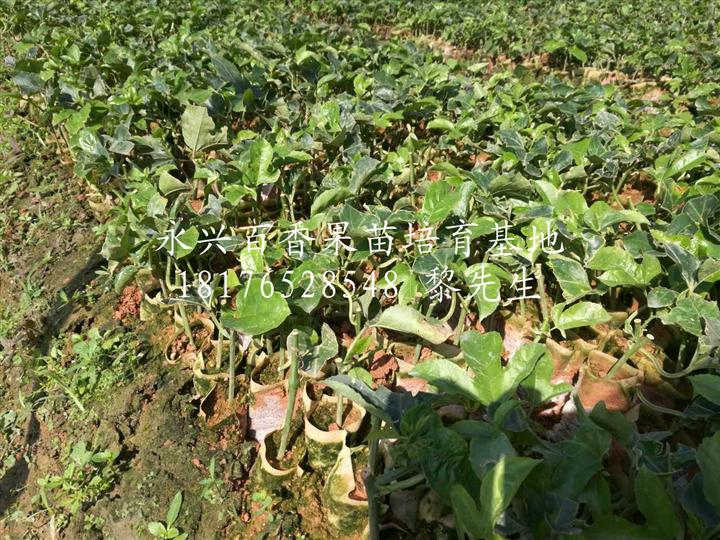 贵港紫香1号百香果苗种植基地-【永兴百香果苗培育基地】
