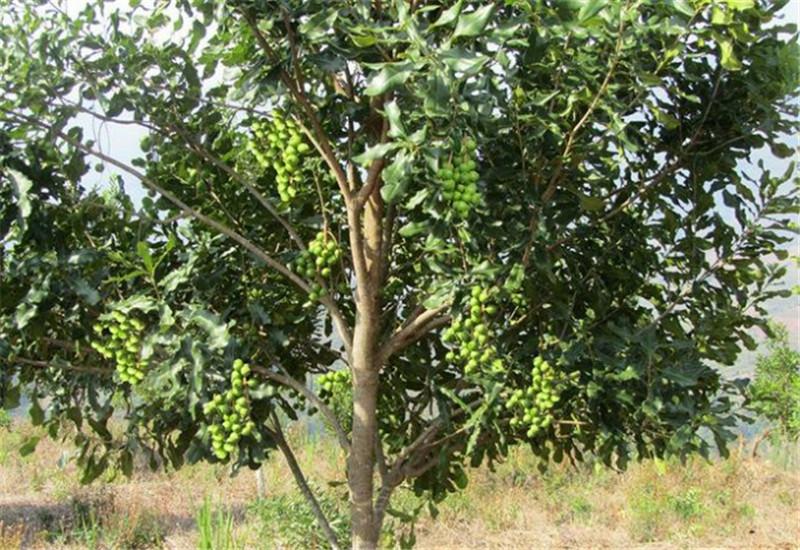 供应澳洲坚果苗种植基地-产地直销-批发报价-夏威夷果苗