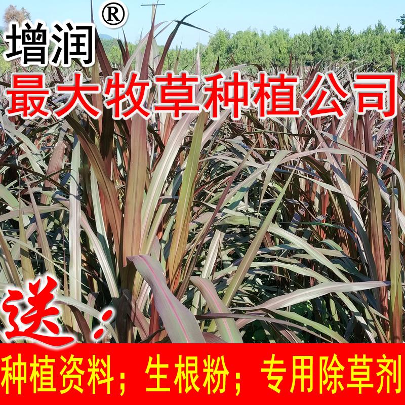 增润巴西红象草增润巴西红象草 紫色皇竹草牧草种子 红象草种节种苗包邮