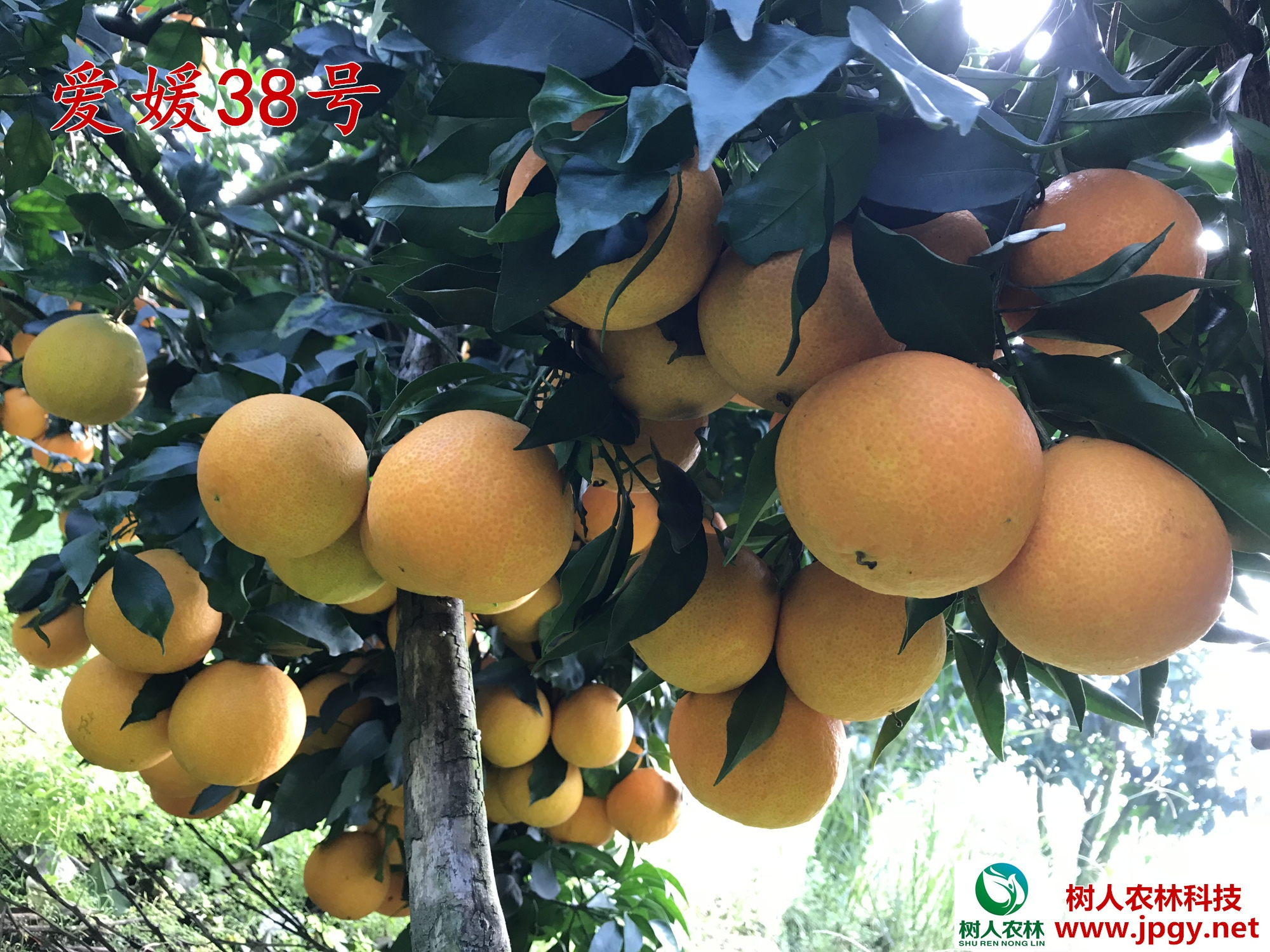 批发 报价 爱媛38号苗 爱媛38号苗 晚熟杂柑柑橘品种 红美人柑橘苗