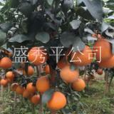 供应红美人 爱媛28 金华市金东区秀平苗木场   爱媛28 种植批发价格