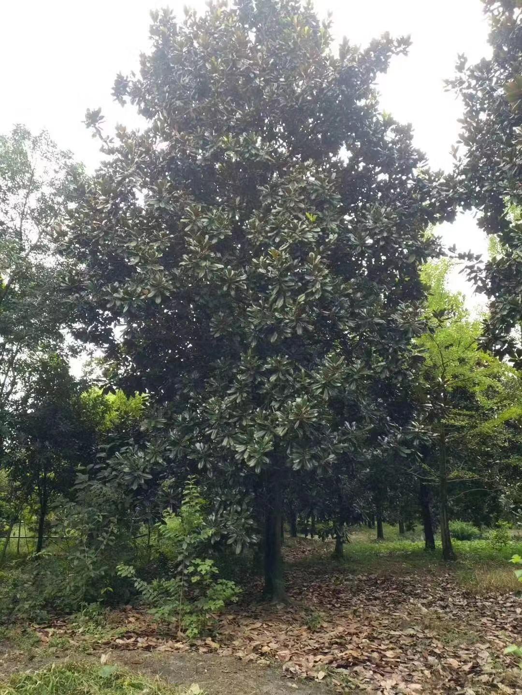 安徽广玉兰基地,广玉兰树批发,安徽特产树是什么.