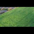 安徽百慕大草坪基地-【安徽百慕大草坪种植批发价格】