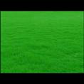 湖南马尼拉草坪基地-【湖南马尼拉草坪种植批发价格】