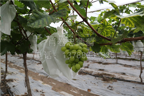 广西北海阳光玫瑰葡萄
