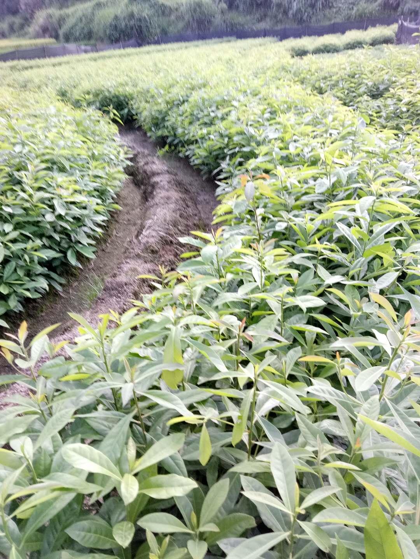 广东广州优质山杜英苗种植基地直销价格 高存活率