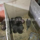 湖南永州出售竹鼠种苗200对,湖南供应竹鼠种苗商品鼠,永州竹鼠种鼠出售