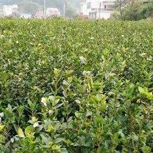二年红花油茶杯苗生产基地