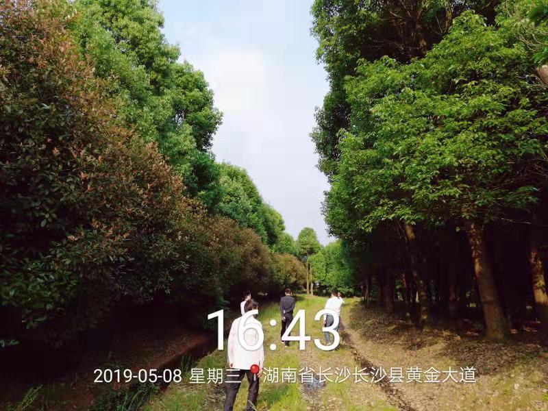 湖北胸径18-20cm香樟树基地-【湖北香樟价格】